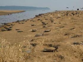 Belo Monte y depredadores amenazan tortugas amazónicas